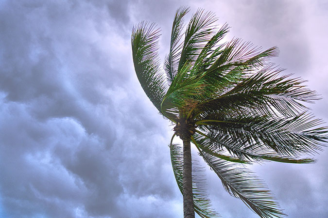 Palm tree blowing in harsh wind